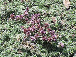 Wooly Thyme (Thymus pseudolanuginosis) at Bloomers Garden Center & Landscaping