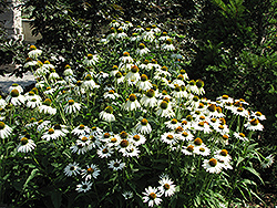 White Swan Coneflower (Echinacea purpurea 'White Swan') at Bloomers Garden Center & Landscaping
