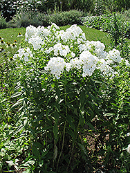 David Garden Phlox (Phlox paniculata 'David') at Bloomers Garden Center & Landscaping