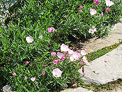 Evening Primrose (Oenothera speciosa) at Bloomers Garden Center & Landscaping
