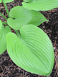 Sum and Substance Hosta (Hosta 'Sum and Substance') at Bloomers Garden Center & Landscaping