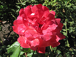 Color Magic Rose (Rosa 'JACmag') at Bloomers Garden Center & Landscaping