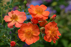 Oso Easy® Paprika Rose (Rosa 'ChewMayTime') at Bloomers Garden Center & Landscaping