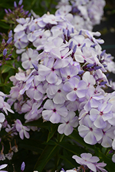Blue Flame™ Garden Phlox (Phlox paniculata 'Blue Flame') at Bloomers Garden Center & Landscaping