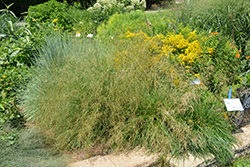 Pixie Fountain Tufted Hair Grass (Deschampsia cespitosa 'Pixie Fountain') at Bloomers Garden Center & Landscaping