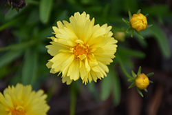 Leading Lady Charlize Tickseed (Coreopsis 'Leading Lady Charlize') at Bloomers Garden Center & Landscaping