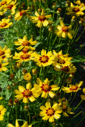 Sunkiss Tickseed (Coreopsis grandiflora 'Sunkiss') at Bloomers Garden Center & Landscaping