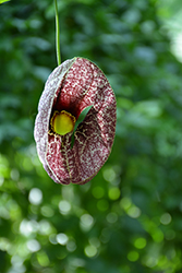 Dutchman's Pipe (Aristolochia macrophylla) at Bloomers Garden Center & Landscaping