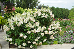 Pinky Winky® Hydrangea (Hydrangea paniculata 'DVPPINKY') at Bloomers Garden Center & Landscaping