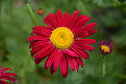 Robinson's Red Painted Daisy (Tanacetum coccineum 'Robinson's Red') at Bloomers Garden Center & Landscaping