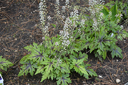 Cutting Edge Foamflower (Tiarella 'Cutting Edge') at Bloomers Garden Center & Landscaping
