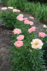 Coral Sunset Peony (Paeonia 'Coral Sunset') at Bloomers Garden Center & Landscaping