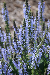 Color Spires® Crystal Blue Sage (Salvia nemorosa 'Crystal Blue') at Bloomers Garden Center & Landscaping