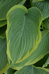 Victory Hosta (Hosta 'Victory') at Bloomers Garden Center & Landscaping