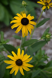 American Gold Rush Coneflower (Rudbeckia 'American Gold Rush') at Bloomers Garden Center & Landscaping