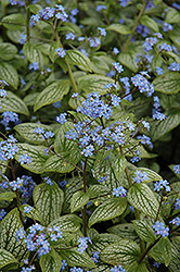Silver Heart Bugloss (Brunnera macrophylla 'Silver Heart') at Bloomers Garden Center & Landscaping