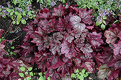 Dolce® Blackberry Ice Coral Bells (Heuchera 'Blackberry Ice') at Bloomers Garden Center & Landscaping