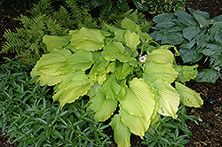 Dancing Queen Hosta (Hosta 'Dancing Queen') at Bloomers Garden Center & Landscaping