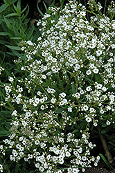 Festival™ Star Baby's Breath (Gypsophila paniculata 'Festival Star') at Bloomers Garden Center & Landscaping