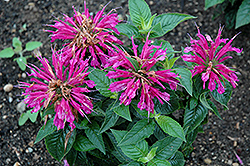 Pardon My Purple Beebalm (Monarda didyma 'Pardon My Purple') at Bloomers Garden Center & Landscaping
