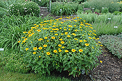 Tuscan Sun False Sunflower (Heliopsis helianthoides 'Tuscan Sun') at Bloomers Garden Center & Landscaping