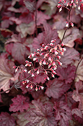 Berry Smoothie Coral Bells (Heuchera 'Berry Smoothie') at Bloomers Garden Center & Landscaping