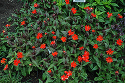 Orange Gnome Campion (Lychnis x arkwrightii 'Orange Gnome') at Bloomers Garden Center & Landscaping