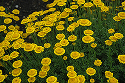 Charme Marguerite Daisy (Anthemis tinctoria 'Charme') at Bloomers Garden Center & Landscaping