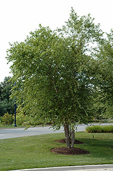 River Birch (clump) (Betula nigra '(clump)') at Bloomers Garden Center & Landscaping