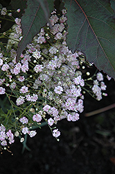 My Pink Baby's Breath (Gypsophila paniculata 'DANGYP39') at Bloomers Garden Center & Landscaping