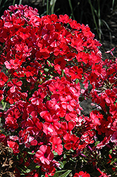 Orange Perfection Garden Phlox (Phlox paniculata 'Orange Perfection') at Bloomers Garden Center & Landscaping