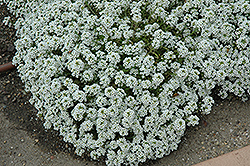 Clear Crystal White Sweet Alyssum (Lobularia maritima 'Clear Crystal White') at Bloomers Garden Center & Landscaping