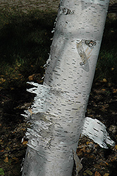 Paper Birch (Betula papyrifera) at Bloomers Garden Center & Landscaping