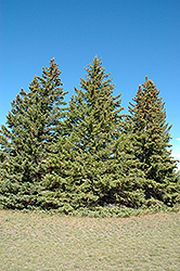 White Spruce (Picea glauca) at Bloomers Garden Center & Landscaping
