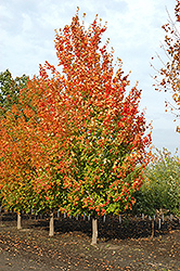 Inferno Sugar Maple (Acer saccharum 'Jeferno') at Bloomers Garden Center & Landscaping