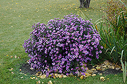 Purple Dome Aster (Aster novae-angliae 'Purple Dome') at Bloomers Garden Center & Landscaping