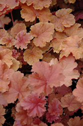 Christa Coral Bells (Heuchera 'Christa') at Bloomers Garden Center & Landscaping