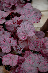 Grape Expectations Coral Bells (Heuchera 'Grape Expectations') at Bloomers Garden Center & Landscaping