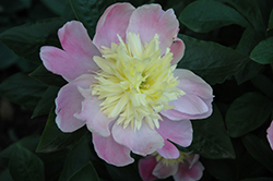 Butter Bowl Peony (Paeonia 'Butter Bowl') at Bloomers Garden Center & Landscaping