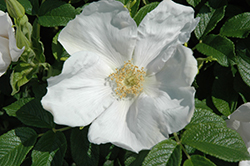 White Rugosa Rose (Rosa rugosa 'Alba') at Bloomers Garden Center & Landscaping