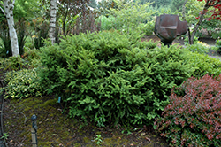 Taunton's Yew (Taxus x media 'Tauntonii') at Bloomers Garden Center & Landscaping