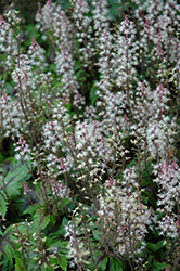 Sugar And Spice Foamflower (Tiarella 'Sugar And Spice') at Bloomers Garden Center & Landscaping