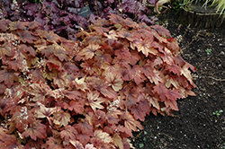 Sweet Tea Foamy Bells (Heucherella 'Sweet Tea') at Bloomers Garden Center & Landscaping
