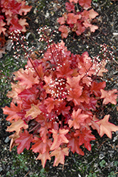 Peach Flambe Coral Bells (Heuchera 'Peach Flambe') at Bloomers Garden Center & Landscaping