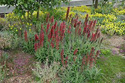 Red Feathers (Echium amoenum) at Bloomers Garden Center & Landscaping