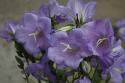 Takion Blue Peachleaf Bellflower (Campanula persicifolia 'Takion Blue') at Bloomers Garden Center & Landscaping