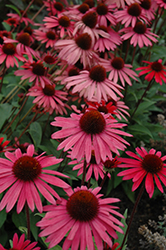 Big Sky Solar Flare Coneflower (Echinacea 'Big Sky Solar Flare') at Bloomers Garden Center & Landscaping