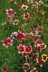 Berry Chiffon Tickseed (Coreopsis 'Berry Chiffon') at Bloomers Garden Center & Landscaping