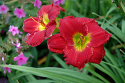 Happy Ever Appster® Red Hot Returns Daylily (Hemerocallis 'Red Hot Returns') at Bloomers Garden Center & Landscaping
