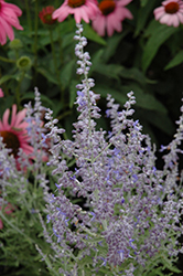 Denim 'n Lace Russian Sage (Perovskia atriplicifolia 'Denim 'n Lace') at Bloomers Garden Center & Landscaping